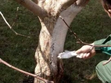 Embedded thumbnail for Побелка плодовых деревьев